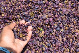 Crushed grapes for wine!